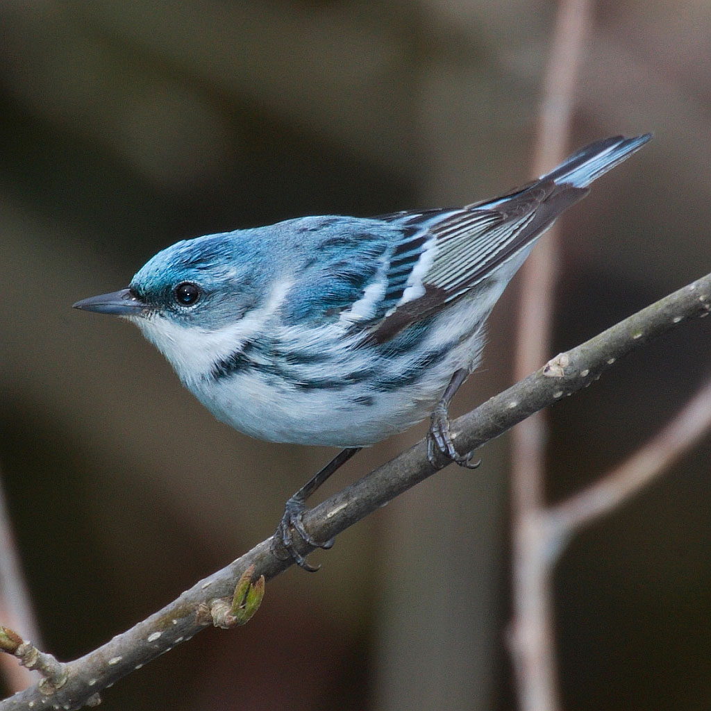 Cerulean Warbler, Credit Missouri Department of Conservation.