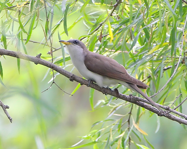 Yellow billed Cuckoo. Credit Allen Smith, Bridgeton, MO.
